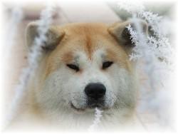 V ' Yumi, chien Akita Inu
