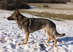 Vaas Des Légendaires Vanova, chien Berger allemand
