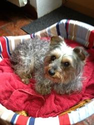 Vadim, chien Yorkshire Terrier
