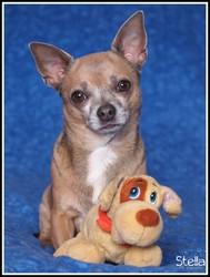 Vagabond, chien Chihuahua