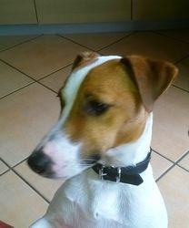 Vagabond, chien Jack Russell Terrier