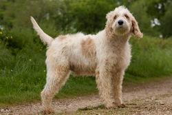 Vagabond, chien Briquet Griffon vendéen