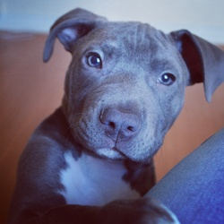 Vaghner, chien American Staffordshire Terrier
