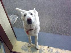 Vahine, chien Berger blanc suisse