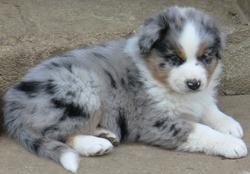 Vahiné, chien Berger australien