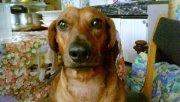 Vahinée, chien Teckel