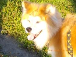 Vaicko Repose Au Paradis, chien Akita Inu