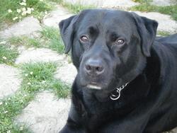 Vaillant, chien Labrador Retriever