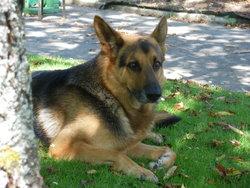 Vaillant, chien Berger allemand
