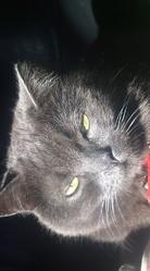 Vaillant, chat Chartreux