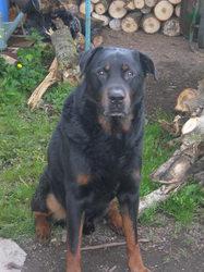 Valco, chien Beauceron