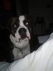 Valco, chien Bulldog