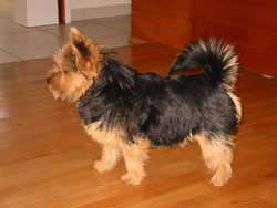 Valentin, chien Norfolk Terrier et Norwich Terrier
