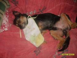 Valentin, chien Griffon belge