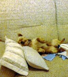 Valentin, chien Yorkshire Terrier