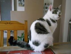 Valentin, chat Européen