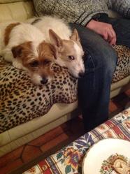 Valentine, chien Jack Russell Terrier
