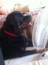 Valentine, chien Rottweiler