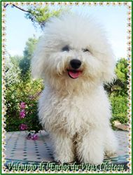 Valentino, chien Bichon à poil frisé