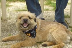 Valmont, chien Border Terrier