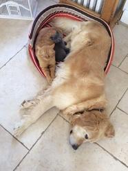 Valoo, chien Golden Retriever