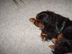 Valou, chien Cavalier King Charles Spaniel