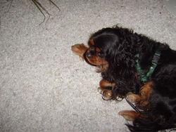 Valou, chien Cavalier King Charles Spaniel