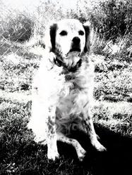 Valou, chien Épagneul breton