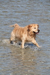 Valou, chien Golden Retriever