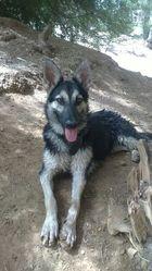 Valya, chien Berger allemand
