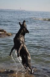 Valya, chien Flat-Coated Retriever