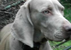 Vampa, chien Braque de Weimar