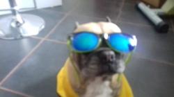 Vanda, chien Berger allemand