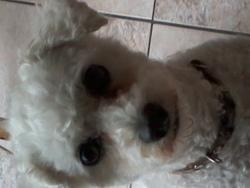 Vanda, chien Bichon à poil frisé