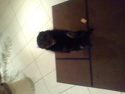 Vandome, chien Spitz allemand