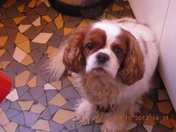 Vango, chien Cavalier King Charles Spaniel