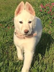 Vania, chien Husky sibérien