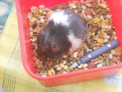 Vanilla, rongeur Hamster