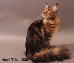 Vanilla General Coon, chat Maine Coon
