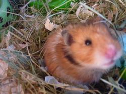 Vanille, rongeur Hamster
