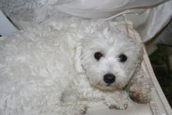 Vanille, chien Coton de Tuléar