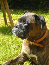 Vanille, chien Boxer