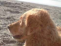 Vanille, chien Golden Retriever