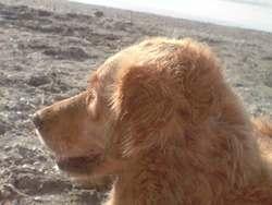 Vanille, chien Golden Retriever