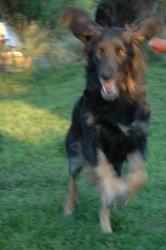 Vanille, chien Hovawart