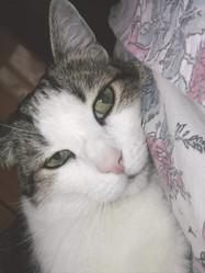 Vanille, chat Européen