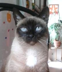 Vanille Au Paradis, chat Siamois