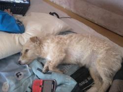 Vanille, chien Fox-Terrier