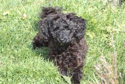 Vanille, chien Caniche