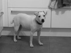Vanille , chien Parson Russell Terrier